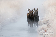 On a frigid winter morning, a pair of young bull moose travel towards Kelly Warm Springs where they will graze on grasses submerged in the warm water.