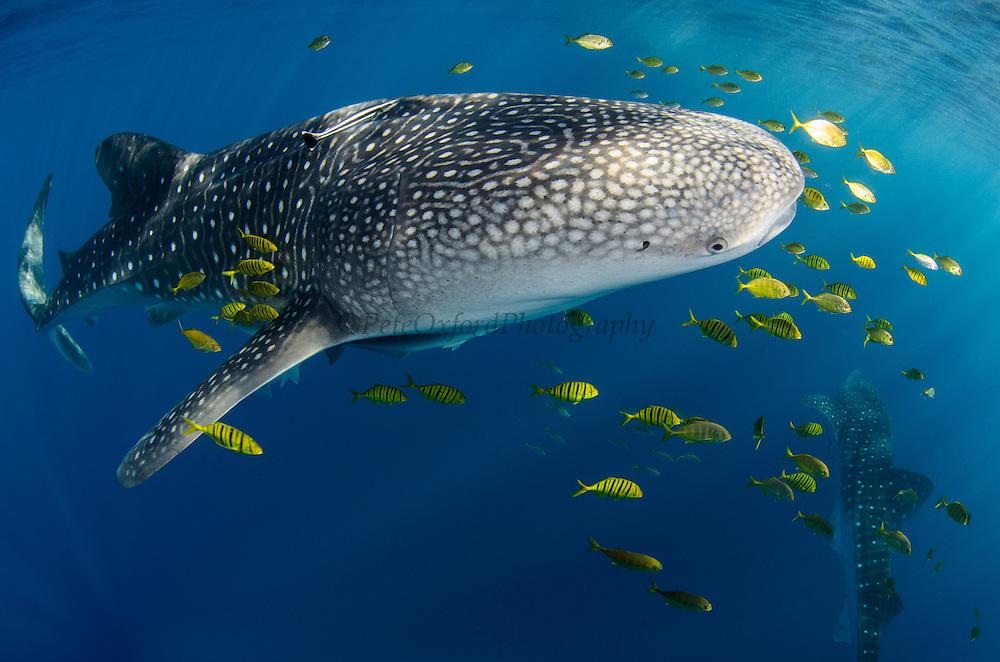 Whale Shark (Rhincodon typus) &amp; Golden Trevally (Gnathanodon speciosus)<br /> Cenderawasih Bay<br /> West Papua<br /> Indonesia