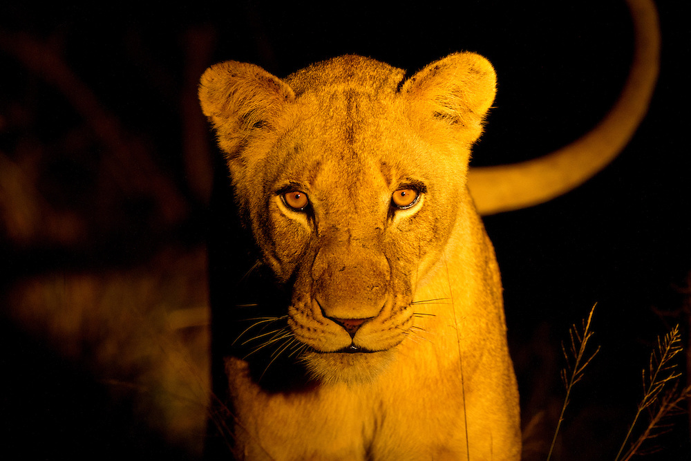 South Africa, Sabi Sands Game Reserve, Spotlight illuminates lioness (Panthera leo) standing in tall grass at night