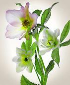 Floral Variations I