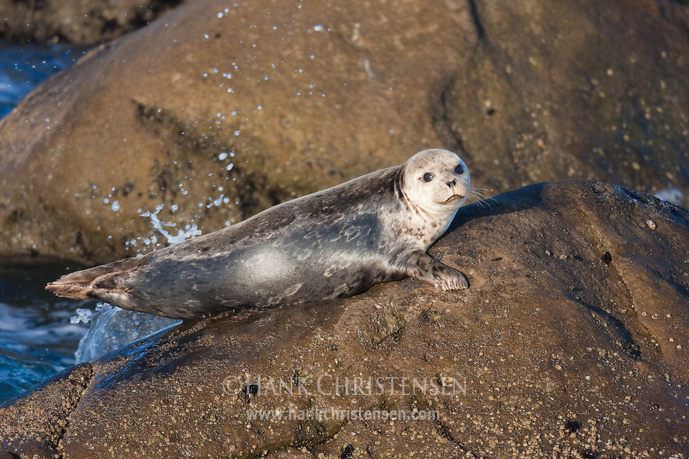 A harbor seal clings to an offshore rock as waves splash around it, Salt Point State Park, California
