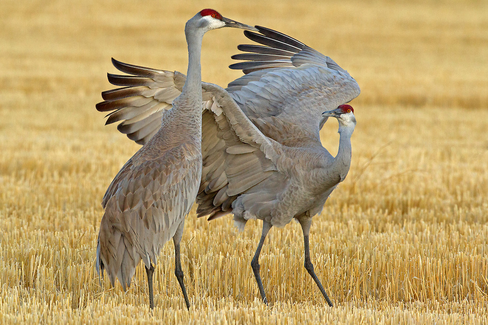 Sandhill cranes are monogamous and form long term pair bonds with their mates. These birds are well known for their elaborate courtship dancing and synchronized calling during breeding season. Although not quite breeding season, this crane, struck some elaborate poses in an effort to impress its mate.