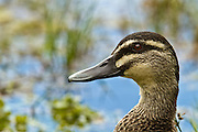 Grey Duck portrait