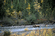 Moose, Alces alces, Gates of the Arctic National Park, Alaska.USA