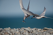 Sterna striata (White-fronted tern)
