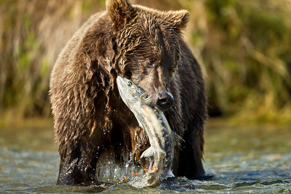 USA, Alaska, Katmai National Park, Coastal Brown Bear (Ursus arctos) biting into Chum Salmon while fishing in spawning stream along Kinak Bay