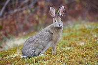 Snowshoe Hare (Lepus americanus) feeeding on short grass at edge of forest, Cherry Hill, Nova Scotia, Canada