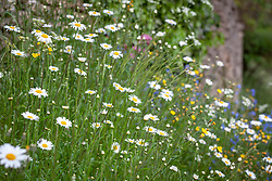 Ox eye daisies.  Leucanthemum vulgare