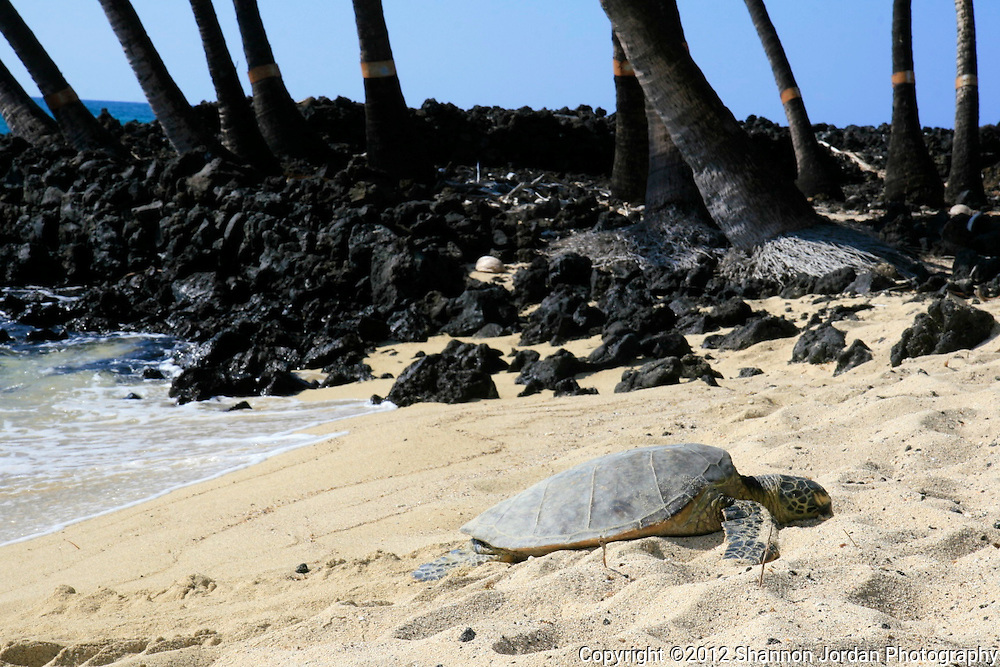 A sea turtle sleeps on the beach on the big Island of Hawaii