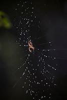 HAARLEM - Kruisspin in een web. Spinnenweb. COPYRIGHT KOEN SUYK