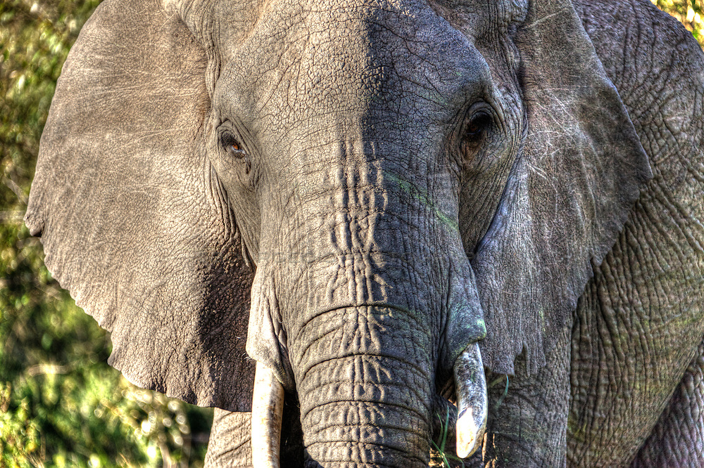 Close up of an old elephant
