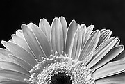 A black and white photo of a Gerbera.