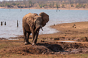 Juvenile African Bush Elephant (Loxodonta africana) Photographed at Lake Kariba National Park, Zimbabwe