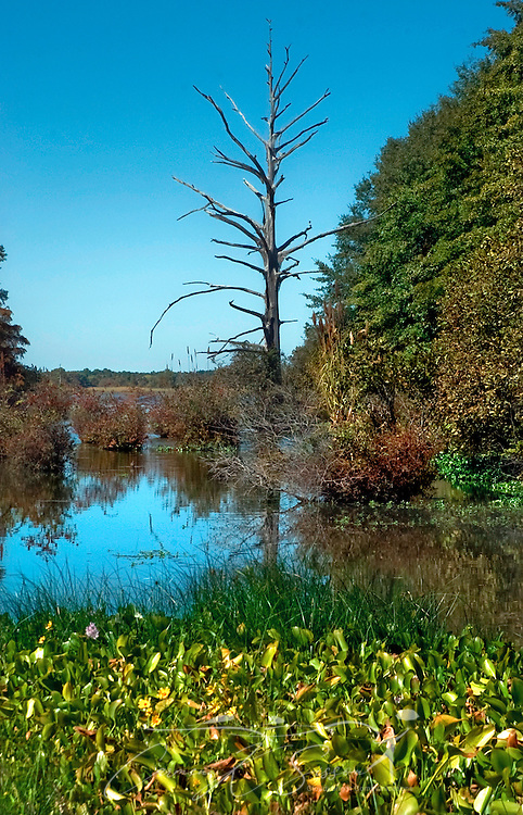 A lone tree stands in a swamp on Wilkins Wise Road in Columbus, Mississippi, Oct. 13, 2006. The lowland area is adjacent to the John C. Stennis Lock and Dam. (Photo by Carmen K. Sisson/Cloudybright)