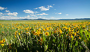Idaho, South East, Arrowleaved Balsamroot fill the Grays Lake Wildlife Refuge in early summer.