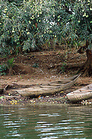 Ghana, Adaklu, Titikope, 2007. Newly-made river boats wait for painting by the side of the Volta. Ripe mango trees line the banks of this area.