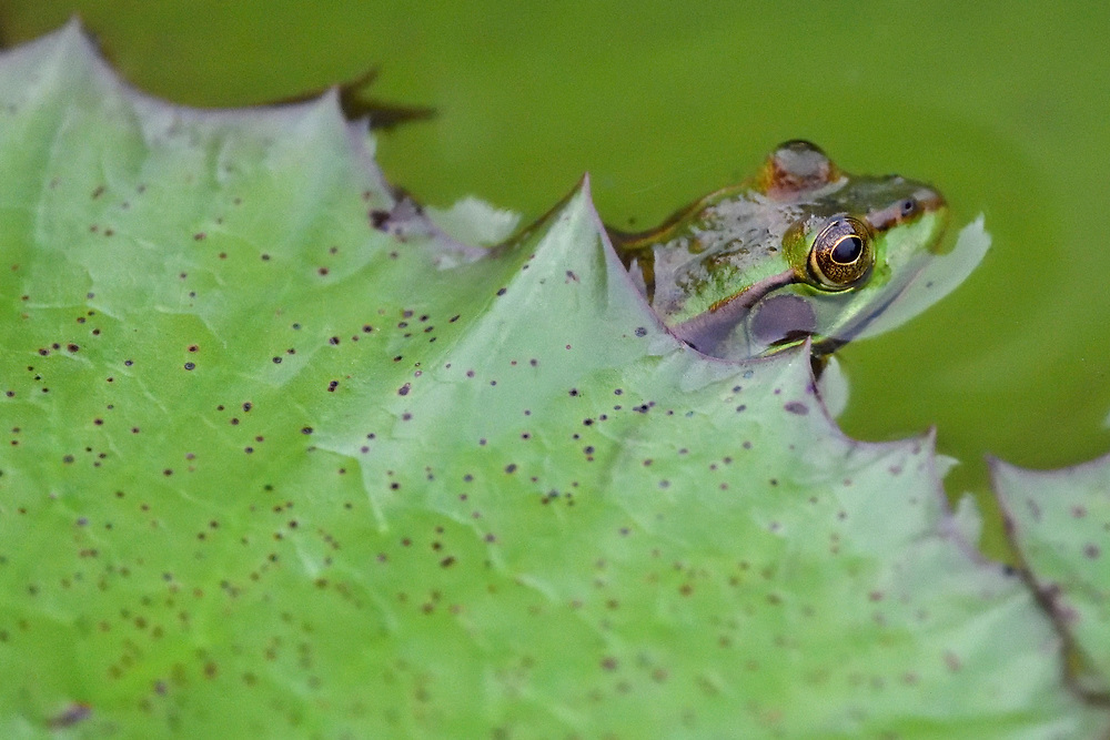 Eastern Golden Frog, Rana Pelophylax plancyi, sitting in the water under a leaf in East Lake Greenway park, Wuhan, Hubei, China