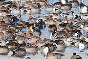 Northern Pintails, Anas acuta, Bosque del Apache NWR, New Mexico