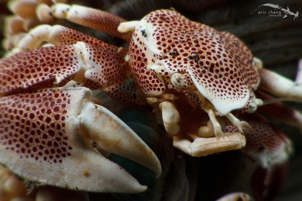 Spotted porcelain crab (Neopetrolisthes maculata) on a Haddon's sea anemone (Stichodactyola haddoni). Lembeh Strait, Indonesia. echeng100306_0253594