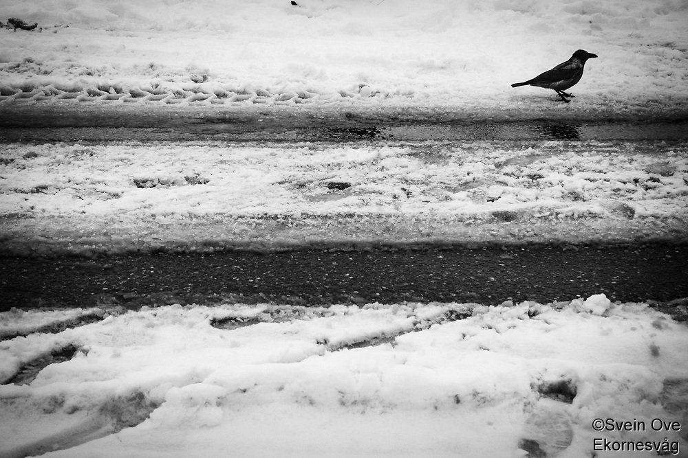 Crow in Snow.<br />