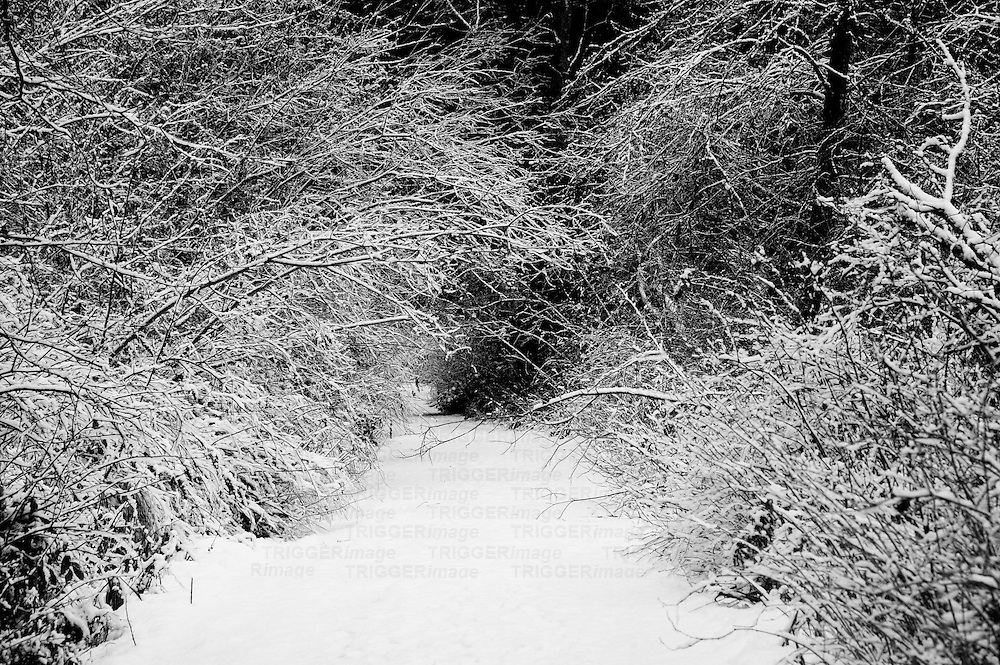 Snow covered forest path with branched dipping down, heavy with snow.