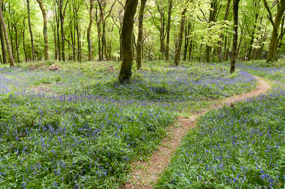 Bluebells around path