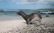 A Galapagos sea lion pup walks across a sandy beach on Espanola island, part of the Galapagos islands of Ecuador.