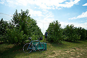 A cyclist picking fruit in an orchard near Faenza, Italy