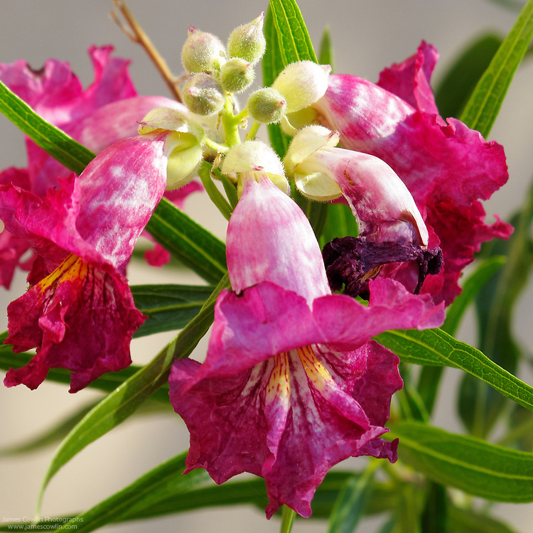 The flower of the Desert Willow tree, Chilopsis linearis, in the Sonoran Desert of southern Arizona