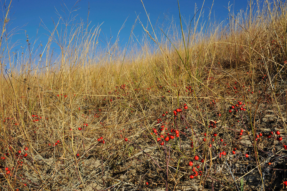 Nebraska Sandhills region ..Rose-hips, the fruit of the prairie wild rose, adorn a sandhills hillside. They are important food source through fall and winter, especially for prairie grouse, as well as coyotes, rodents and other fur bearers.