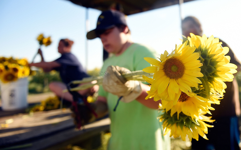 7/28/16 :: REGION :: STAND ALONE :: Volunteer Ethan Powell trims the stems of a bouquet as volunteers harvest sunflowers at Buttonwood Farm in Griswold Thursday, July 28, 2016 for the farm's 13th annuals Sunflowers for Wishes fundraiser. A bouquet of sunflowers can be had for a $10 donation to the Make-A-Wish Foundation during the event which runs through this weekend. The event has raised over $1 million since it began.  (Sean D. Elliot/The Day)