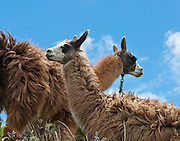 The necks of two Llamas cross at Quilotoa, Ecuador, South America