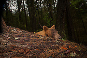 A light brown or blonde American black bear (Ursus americanus) emerges from behind a log in the Rogue River National Forest, Oregon.