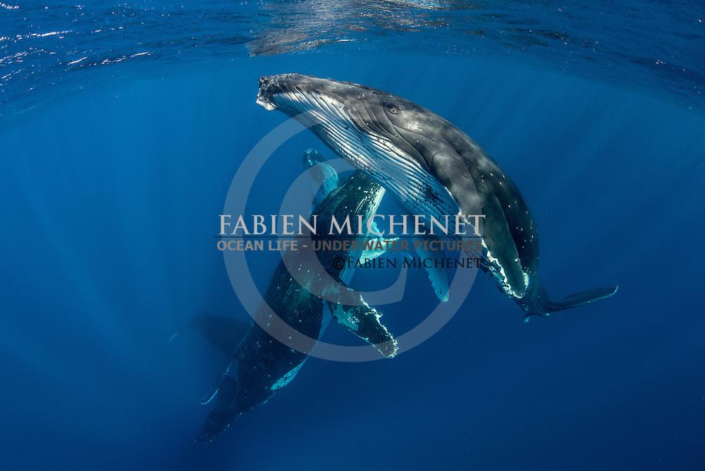 A heat run of humpback whales (Megaptera novaeangliae) Tahiti French Polynesia