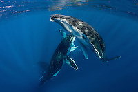 A heat run of humpback whales (Megaptera novaeangliae) Tahiti French Polynesia