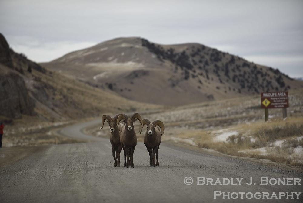 Bighorn sheep on the Elk Refuge Road, National Elk Refuge, Wyoming.