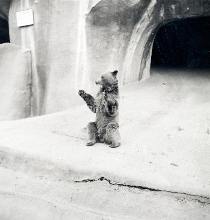 bear in the Paris Zoo ca 1960s