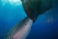 Whale shark at Cendriwasih Bay trying to feed off fishing platform (bagan, Indonesia ; Rhincodon typus; slow-moving filter feeding shark; the largest living fish species; Nabire; West Papua; whale shark; whale shark fins fetch the highest price in the trade; Hong Kong