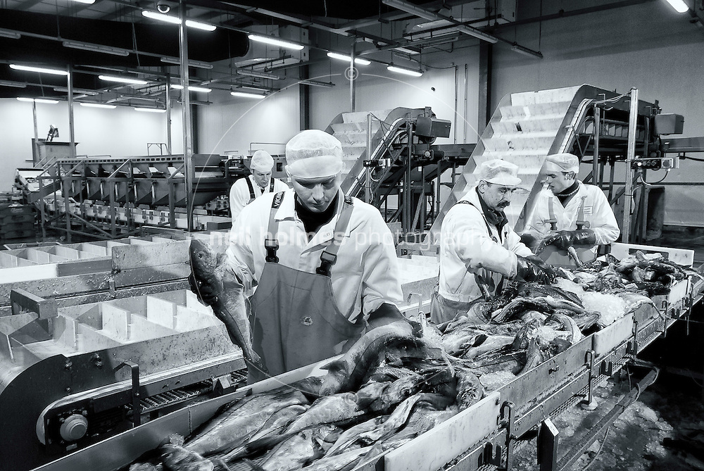 Hull Fish Auction, Fishgate. Fish processing workers grading fresh chilled fish in a large modern temperature controlled plant