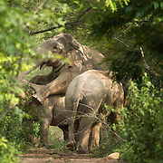 Mating Asian Elephants (Elephas maximus) in Kui Buri national park, Thailand