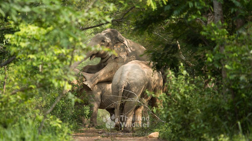 Mating Asian Elephants (Elephas maximus) in Kui Buri national park, Thailand