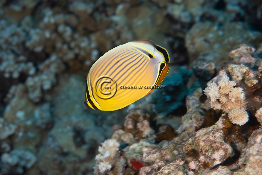 Oval Butterflyfish, Chaetodon lunulatus Quoy & Gaimard, 1825, kikakapu, Maui, Hawaii