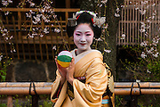Real Geisha posing before a cherry blossom tree in the Geisha quarter Gion in the Unesco world heritage sight Kyoto, Japan