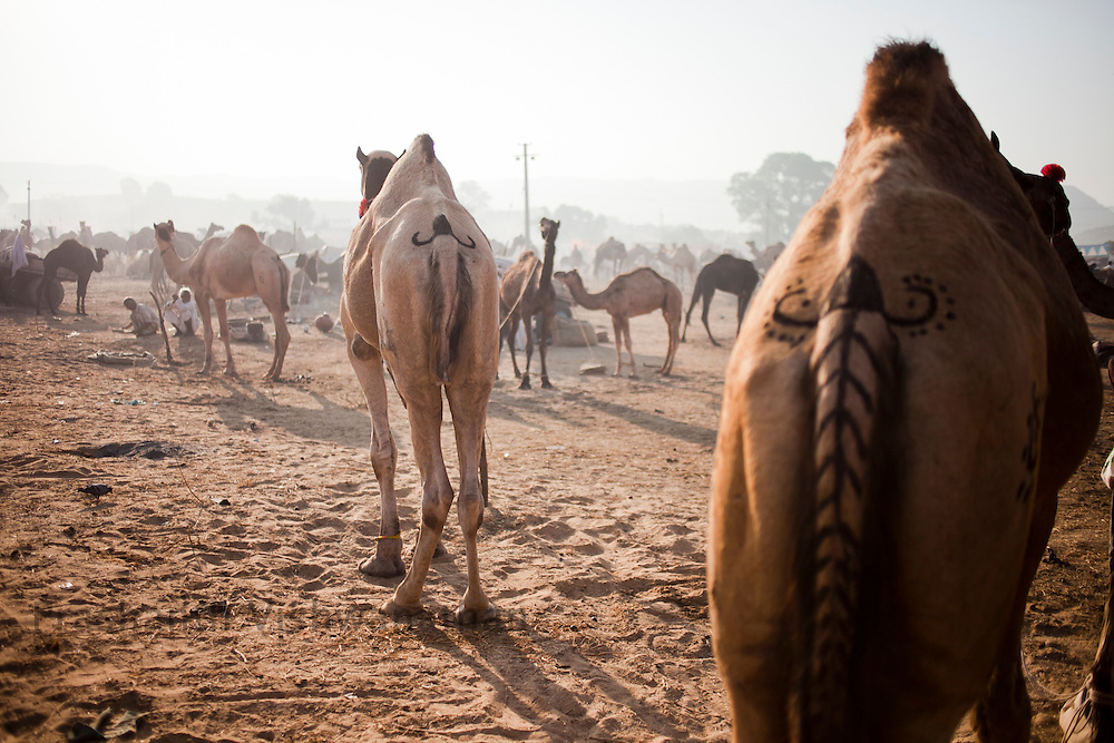 Patterns of eyes are painted on the camels at the fair grounds in Pushkar, India, November 6, 2011.  Photographer: Prashanth Vishwanathan