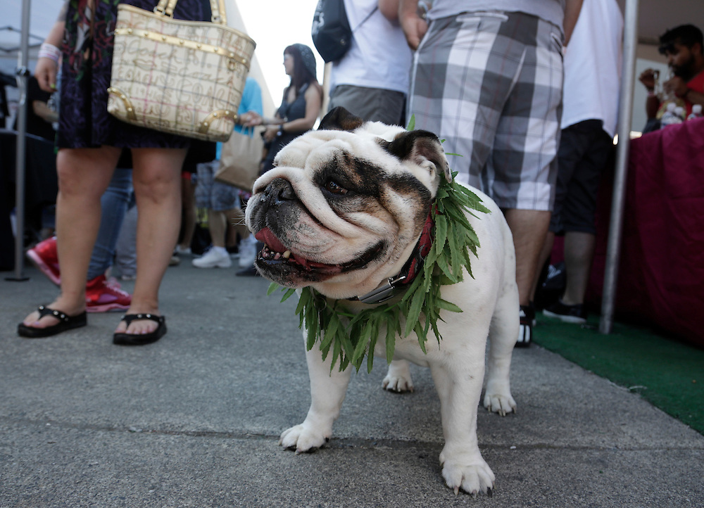 An English bull dog wears a marijuana-leaf lei at the High Times U.S. Cannabis Cup in Seattle, Washington September 8, 2013. Washington state was one of the first states to legalize marijuana for recreational use after approving separate ballot initiatives last year, even as the drug remains illegal under federal law. The Cup features exhibitions as well as a marijuana growing competition. REUTERS/Jason Redmond (UNITED STATES)