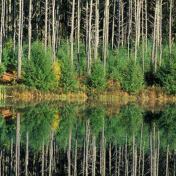 Northwood, NH.Eastern White Pines, Pinus strobus, reflect in the waters of Meadow Lake at the Headwaters to the Lamprey River..