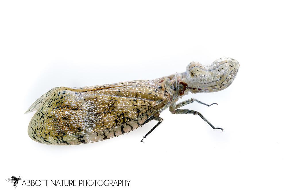 lantern fly, peanut bug, peanut-headed lanternfly, alligator bug, machaca, chicharra-machacuy, cocoposa (in Spain) or jequitiranaboia (Fulgora sp.)<br /> BELIZE: Cayo District <br /> Ian Anderson's Caves Branch Lodge near Armenia<br /> 5-Aug-2015<br /> J.C. Abbott &amp; K.K. Abbott