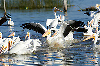 An American white pelican (Pelecanus erythrorhynchos) landing on Lake Chapala, Jalisco, Mexico