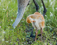 Sandhill crane chick waits near adult that is foraging in the soil in a lush green meadow in a wetland, adults head completly into the soil, © 2014 David A. Ponton