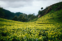 Ella, Sri Lanka -- February 3, 2018: A tea plantation in the upper hills of central Sri Lanka.